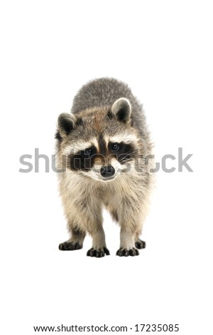 Raccoon making eye contact with the camera, isolated on a white background - stock photo