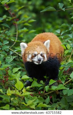 Raccoon panda at Chongqing zoo - stock photo