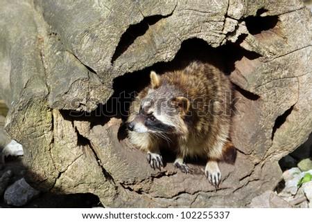 Raccoon (Procyon lotor) - stock photo