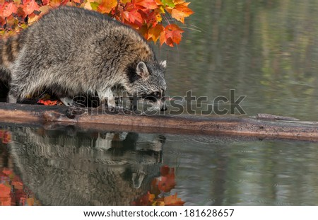 Raccoon (Procyon lotor) Crawls along Log - captive animal - stock photo