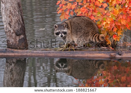 Raccoon (Procyon lotor) Looks Back - captive animal - stock photo