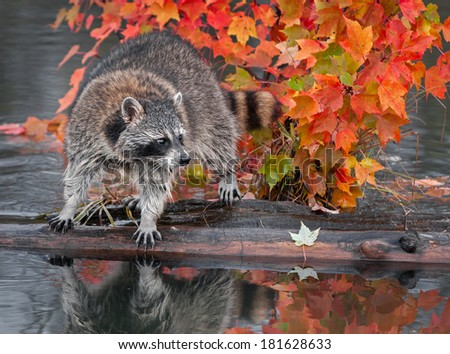 Raccoon (Procyon lotor) Looks Right Atop Log - captive animal - stock photo