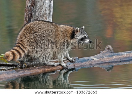 Raccoon (Procyon lotor) on Log in Pond Looks Right - captive animal - stock photo