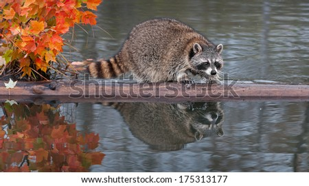 Raccoon (Procyon lotor) Splashes Water - captive animal - stock photo