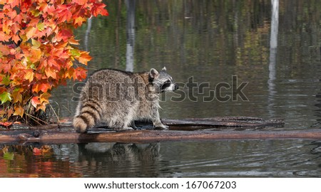 Raccoon (Procyon lotor) Stands on Log Looking Right - captive animal - stock photo
