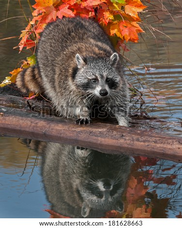Raccoon (Procyon lotor) Stands Uncertainly on Log - captive animal - stock photo