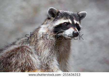 Raccoon sitting and staring intently. He looks very surprised - stock photo