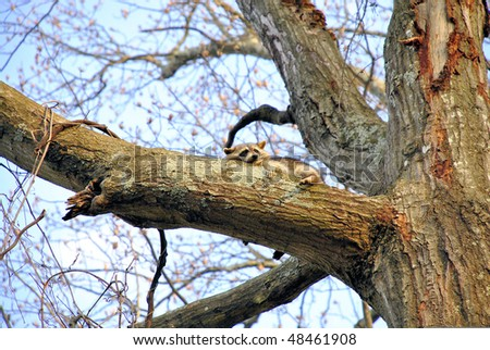 raccoon sleeping in a tree in the late afternoon, early evening - stock photo