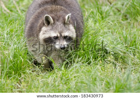 Raccoon walking through a green meadow, [Procyon lotor] - stock photo