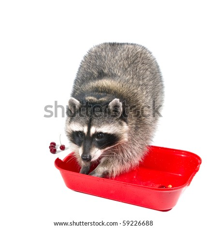Raccoon washes cherry red basin of water - stock photo