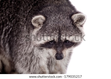Raccoon (15 years old) - Procyon lotor isolated on the white background - stock photo