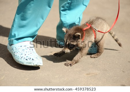 Raccoons first walking - stock photo