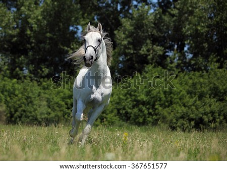 Race horse gallops in the green background a summer countryside - stock photo