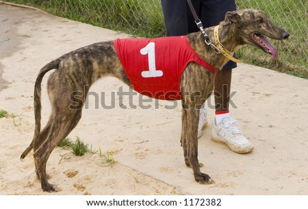 racing greyhound cooling down after race - stock photo