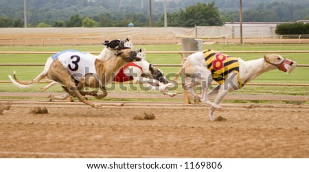 Racing Greyhounds - stock photo