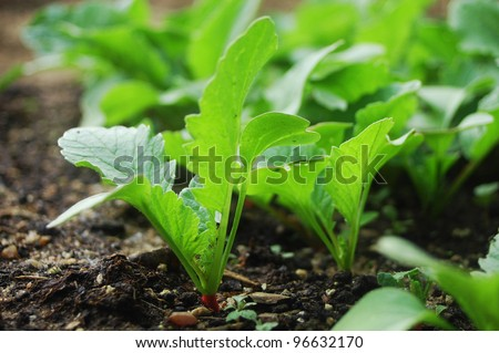 Radish plants growing in organic soil. - stock photo