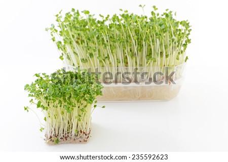 Radish sprouts - stock photo