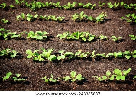Radishes in the garden - stock photo