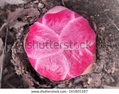 Rafflesia, the biggest flower in the world  - stock photo