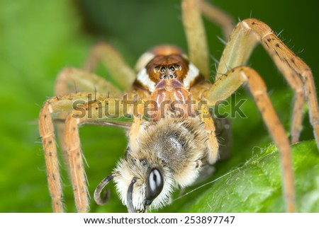 Raft spider, Dolomedes feeding on caugt bee - stock photo
