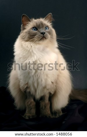 Ragdoll cat in seating position on black background - stock photo