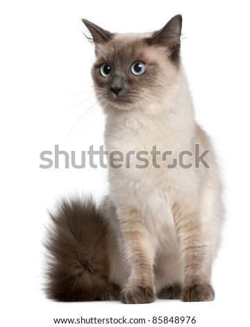 Ragdoll cat, 15 months old, sitting in front of white background - stock photo