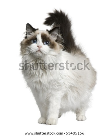 Ragdoll cat, 7 months old, standing in front of white background - stock photo