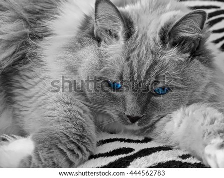 Ragdoll cat with blue eyes indoor. Blue mitted young male.  - stock photo