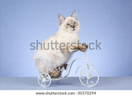 Ragdoll kitten on miniature white bicycle on blue background - stock photo