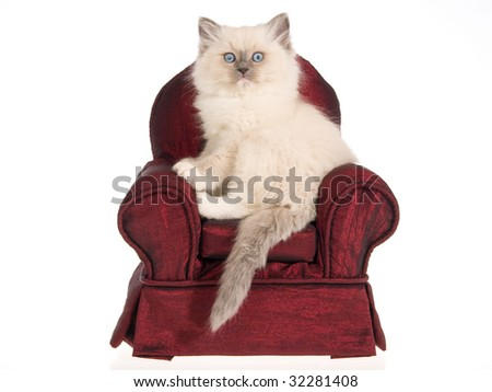 Ragdoll kitten sitting on miniature burgundy chair on white background - stock photo