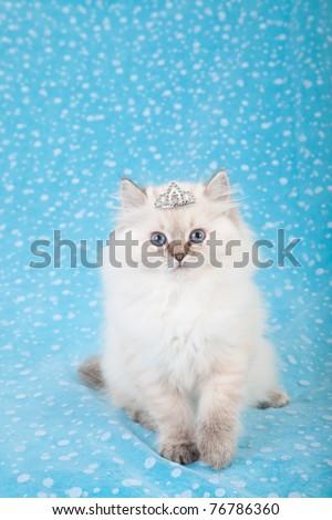 Ragdoll kitten with tiara crown on blue background - stock photo