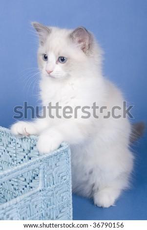 ragdoll sitting with box - stock photo