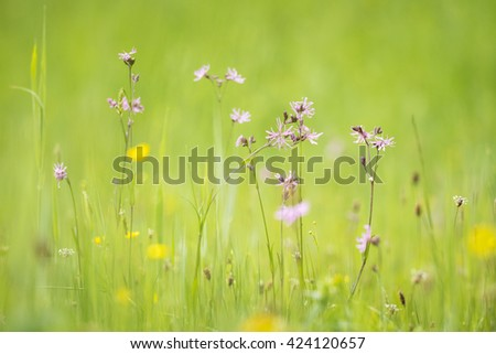 Ragged-Robin flowers, Lychnis flos-cuculi, blooming in a meadow with bright colors and natural sunlight. - stock photo