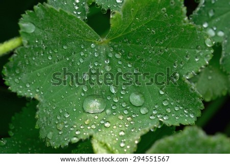 Rain Drops on a Lady's Mantle Leaf - stock photo