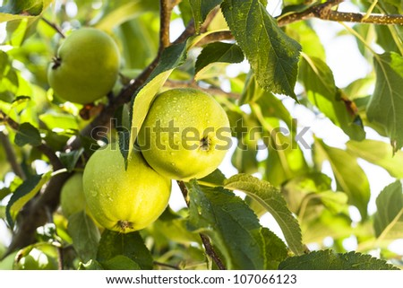 Rain drops on green apples on a apple tree branch - stock photo