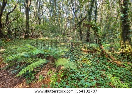 Rain forest in Garajonay national park , La Gomera, Canary islands,  Spain. - stock photo