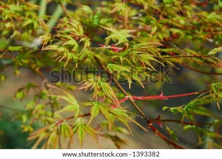 Rain on Japanese maple - stock photo