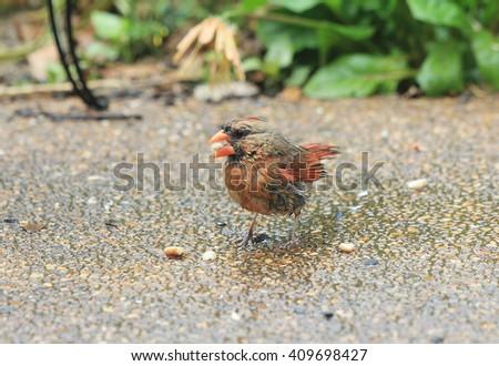 Rain soaked female Northern Cardinal (Cardinalis cardinalis)  feeding on seeds spread over garden patio. - stock photo
