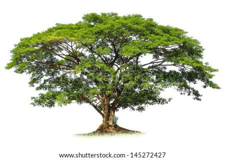 Rain tree isolated - stock photo