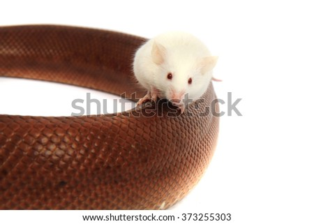 rainbow boa snake and his friend small white mouse - stock photo
