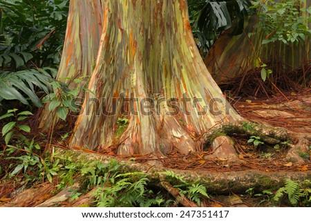 Rainbow Eucalyptus in Arboretum Botanical Garden on the road to Hana, North Shore,Maui - stock photo