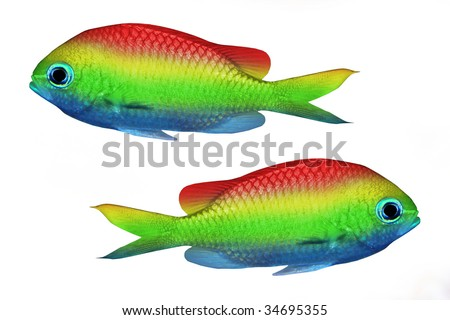 Rainbow Fish Clipart Rainbow Fish Isolated on White