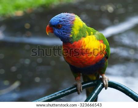 Rainbow lorikeet, Currumbin, Australia - stock photo