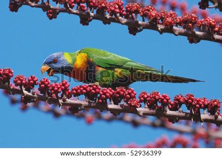 Rainbow Lorikeet feeding on flowers in the Atherton Tableland, Queensland, Australia - stock photo