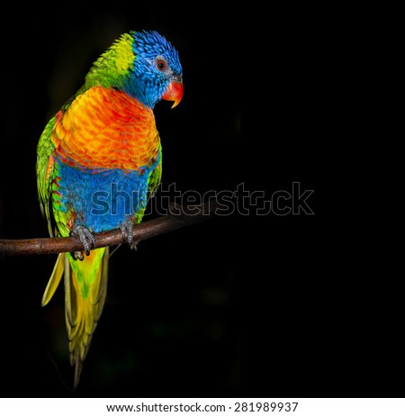 rainbow lorikeet parrot isolated on a black background - stock photo