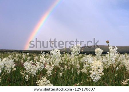 Rainbow over field with white flowers,after storm - stock photo