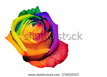 rainbow rose on white background with copy-space - stock photo