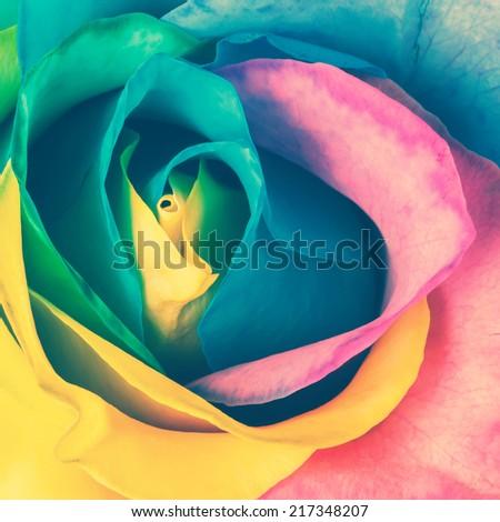 Rainbow rose. Toned image - stock photo