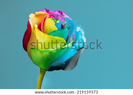 Rainbow rose with copy space - stock photo