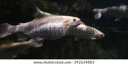 Rainbow trout - stock photo
